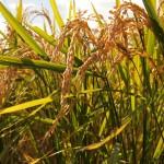 ふるさと納税はお得!2000円で15キロのお米をもらう方法