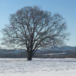 ハルニレの木を撮影してみた 北海道豊頃町の冬の絶景(画像あり)